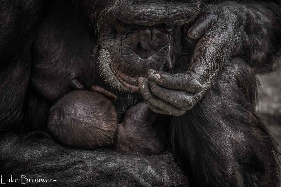 Mother Chimpanzee and baby