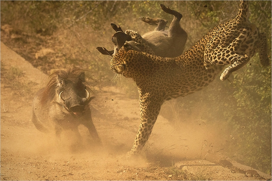 Leopard attacking a young warthog